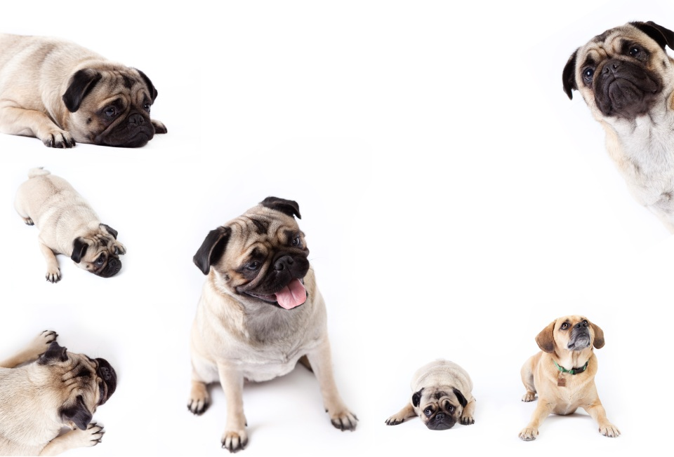 studio photos of a pug dog and a beagle in Melbourne