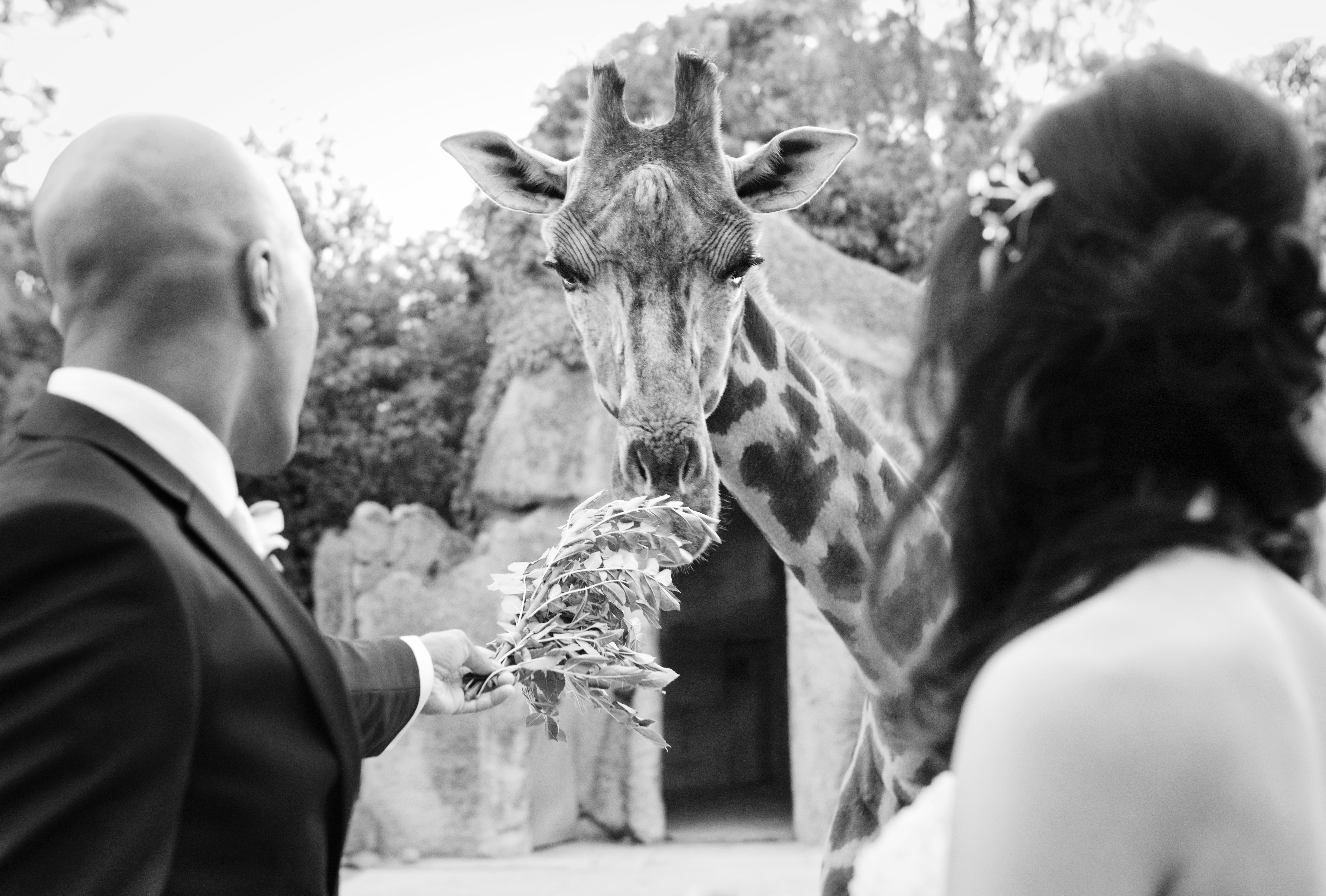 Bride and groom photos with the animals at melbourne zoo